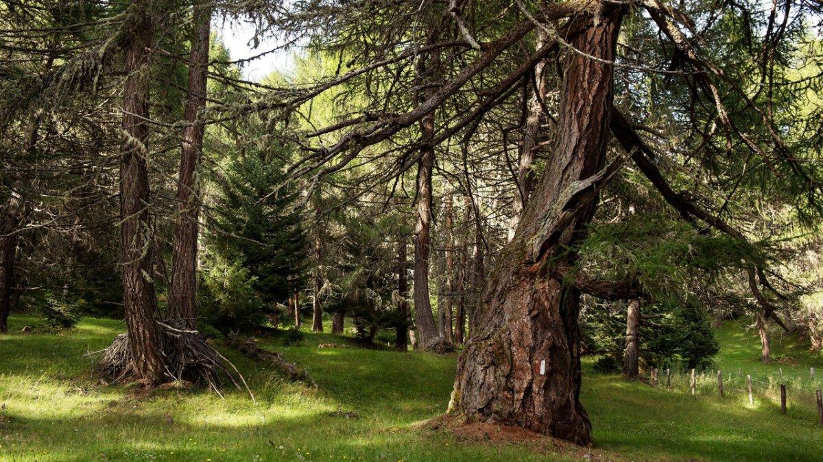 Cette forêt de mélèzes a 600 ans! Vous la traversez au cours d'une randonnée d'environ 3h, plutôt facile, qui vous fait découvrir un écosystème foisonnant., © Nationalpark Hohe Tauern/Egger